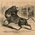 Bull_and_Bear_Fight_New_Orleans_1853.jpg
